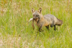 Red Fox (Cross Phase)