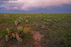 Prickly Pear, Pawnee Grasslands