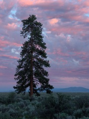 Ponderosa Pine at Sunset